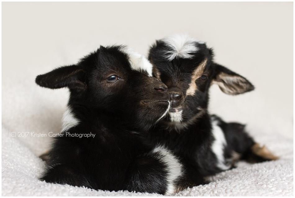 newborn baby goats gilbert az