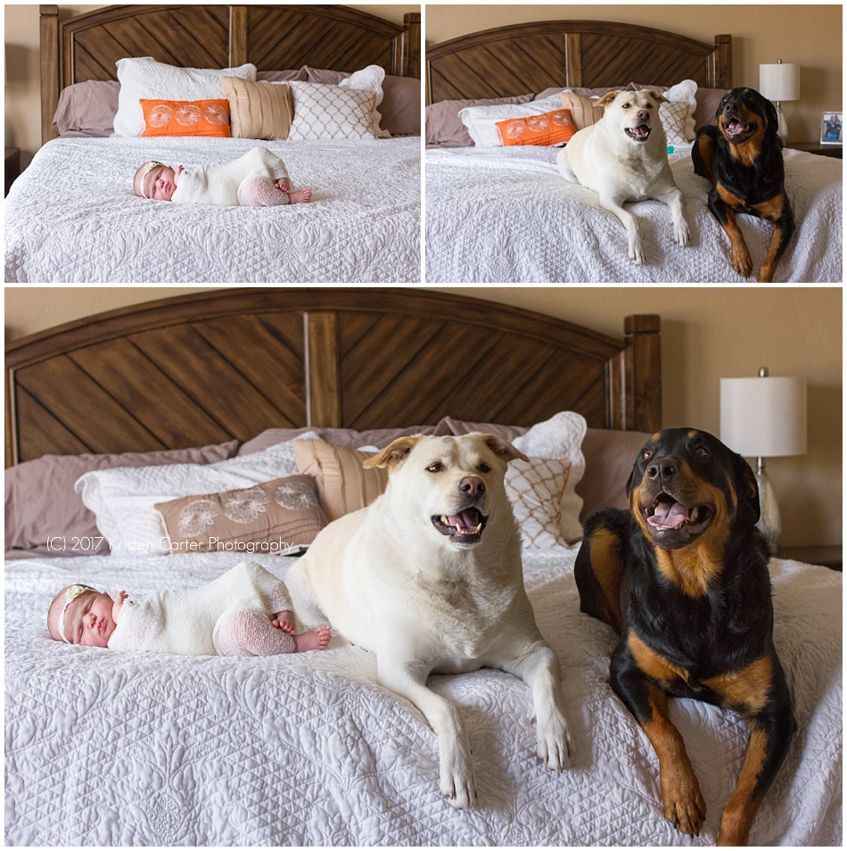 Baby on bed with dogs newborn safety photo session